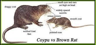 Coypu (with rat)
