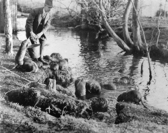 Coypu (Feeding 1938)2