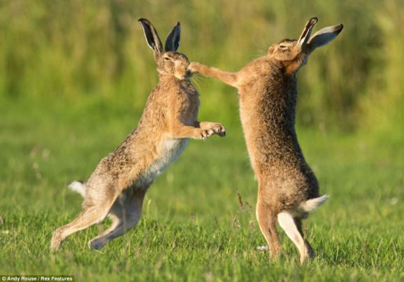 Hares (boxing)2
