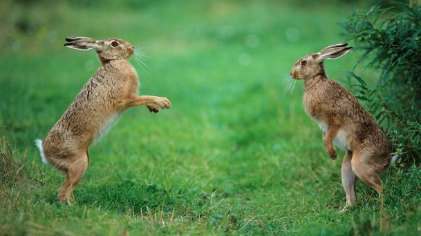 Hares (boxing)3