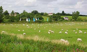 sheep beccles-1