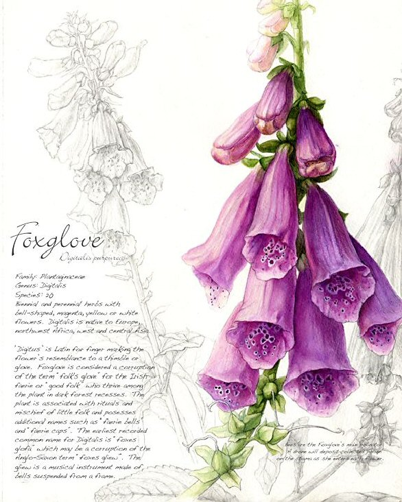 Foxgloves Fey 4