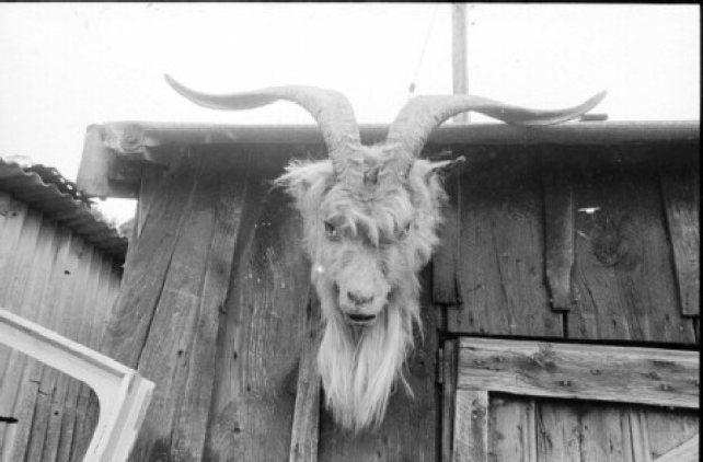 Strumpshaw Goat 1