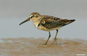 Breydon Water (Broad-Billed Sandpiper- BirdGuides) - Copy