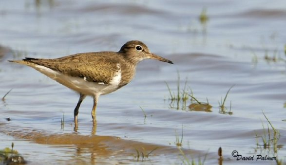 Breydon Water (Common Sandpiper)