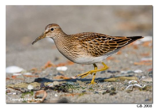 A Pectoral Sandpiper (Calidris melanotos) feeds along the shoreline in Victoria, British Columbia, Canada.