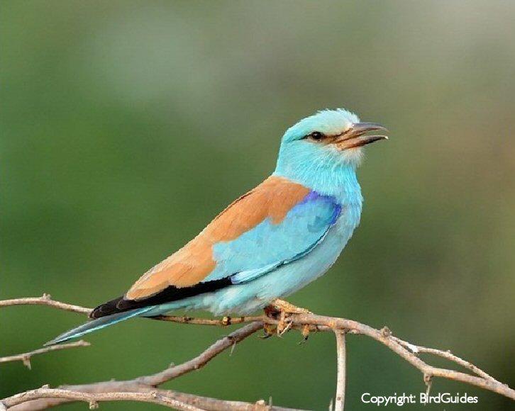 Breydon Water (Roller Bird-BirdGuides)