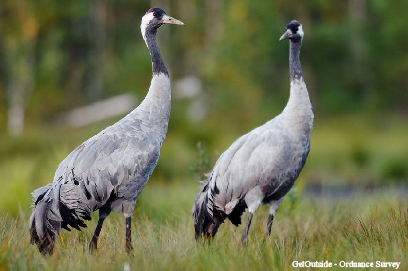 Norfolk Broads (Common Crane)