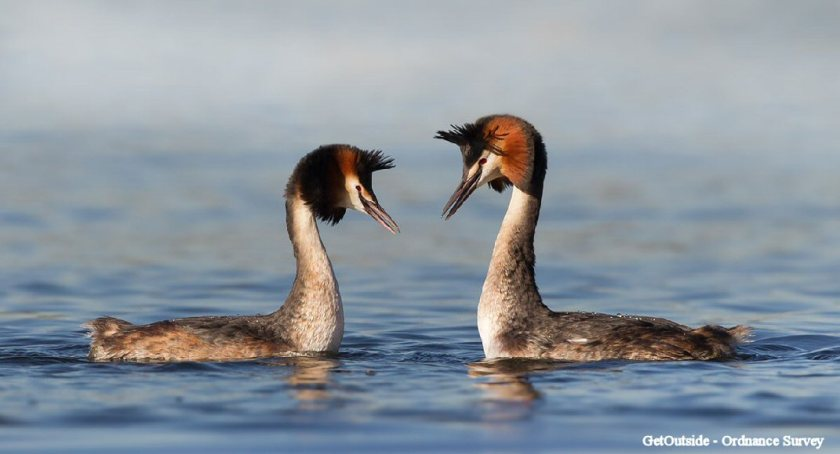 Norfolk Broads (Great Crested Grebe)2