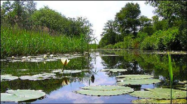 Norfolk Broads (Lilies)
