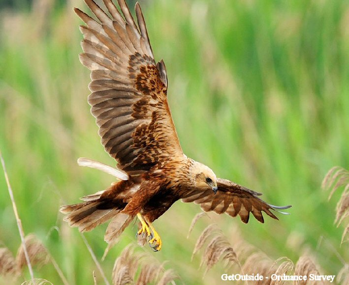 Norfolk Broads (Marsh Harrier)