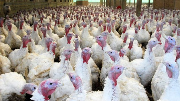 Bernard Matthews (turkeys)