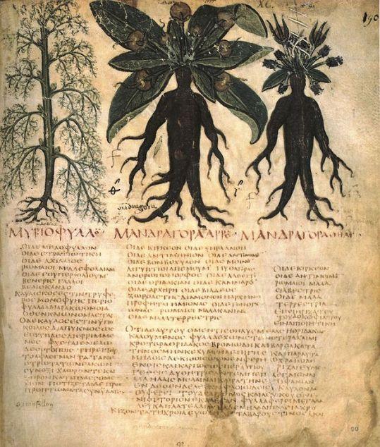 Flitcham Witch (Mandrake)1