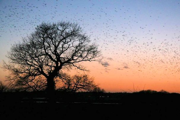 Ghostly Norfolk (Rooks-and-jackdaws-gather)2