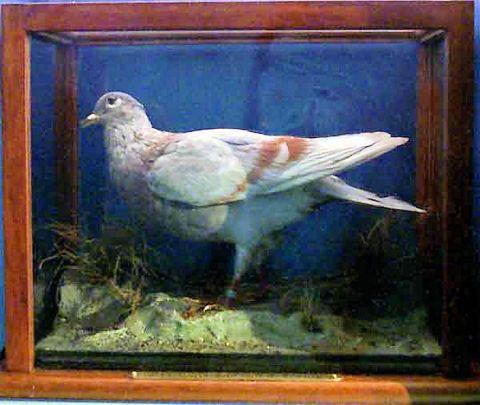 Yarmouth (Pigeon)