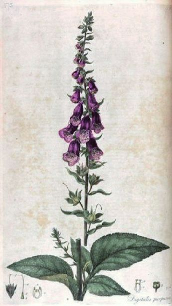 Foxgloves Fey 5