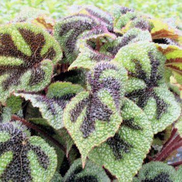 Fincham (Begonia Masoniana)1