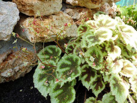 Fincham (Begonia Masoniana)2