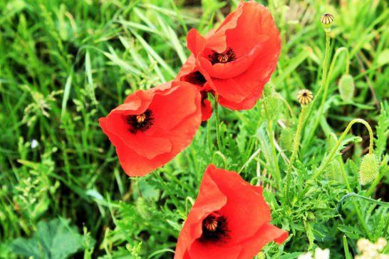 Shotesham (Poppies)2
