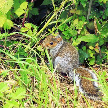 Shotesham (Squirrel)3